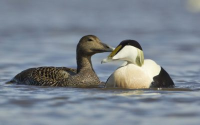 Eider duck requiem